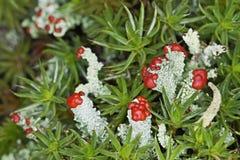 Muschio di fioritura del lichene Immagini Stock Libere da Diritti