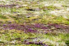 Muschio di fioritura Islanda Immagine Stock Libera da Diritti