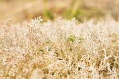 Muschio di renna Fotografie Stock