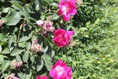 Muschio di Rosa Portulaca b grandiflora fotografie stock