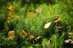 Muschio e foglie Fotografia Stock Libera da Diritti