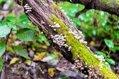 Muschio e funghi selvaggi sull'albero in Ang Ka Luang Nature Trail fotografie stock