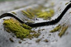 Muschio e goccia di acqua che crescono sulle mattonelle di tetto Fotografia Stock