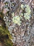 Muschio e Lichen Textures su una corteccia di albero ruvida Fotografia Stock