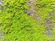Muschio e lichene Fotografie Stock Libere da Diritti