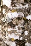 Muschio e lichene asciutti Fotografia Stock