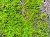 Muschio e lichene del primo piano Immagine Stock
