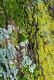 Muschio e licheni Fotografia Stock Libera da Diritti