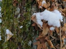 Muschio ed edera di Snowy nella foresta di inverno fotografie stock libere da diritti