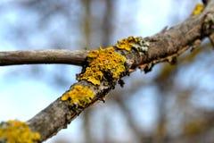Muschio giallo Fotografia Stock