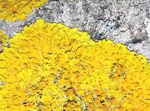 Muschio giallo sul vecchio albero Fotografia Stock