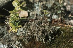 Muschio grigio sulla roccia nella foresta di estate immagine stock libera da diritti