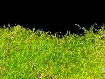 Muschio isolato Fotografia Stock Libera da Diritti