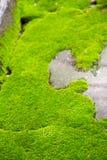 Muschio naturale verde fresco Immagini Stock