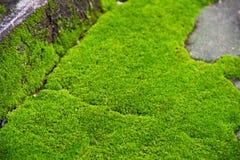 Muschio naturale verde fresco Fotografia Stock