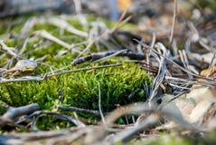 Muschio nella foresta Fotografia Stock