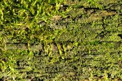 Muschio nella priorità bassa di legno di struttura Fotografia Stock