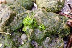 Muschio nella roccia Immagine Stock