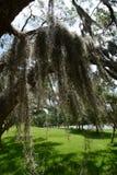 Muschio pesante che pende da un albero della palude fotografia stock libera da diritti