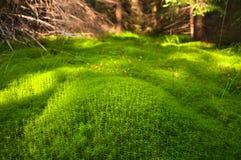 Muschio profondo di legno nel muschio di verde di foresta nei Carpathians Immagine Stock Libera da Diritti