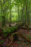 Muschio rotto del ramo di quercia avvolto Fotografia Stock
