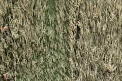 Muschio spagnolo su una vecchia parete - orizzontale Fotografia Stock