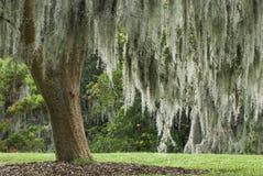 Muschio spagnolo in un albero di quercia in tensione Fotografia Stock