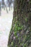 Muschio su un albero Fotografie Stock Libere da Diritti