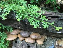 Muschio su un legname con una roccia  Immagine Stock
