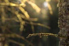 Muschio su un ramo di albero Immagini Stock