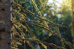 Muschio su un ramo di albero Fotografie Stock Libere da Diritti