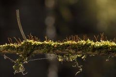 Muschio su un ramo di albero Fotografia Stock Libera da Diritti