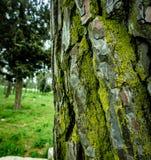 Muschio su un tronco di albero fotografia stock libera da diritti