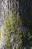 Muschio su una corteccia della quercia fotografie stock