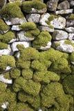 Muschio su una parete di pietra asciutta Immagini Stock