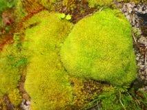 Muschio su una roccia Fotografia Stock Libera da Diritti