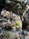 Muschio su una roccia Immagine Stock Libera da Diritti
