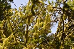 Muschio sugli alberi del Madera Immagini Stock