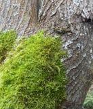 Muschio sul circuito di collegamento di albero fotografia stock