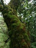 Muschio sul pino due Fotografia Stock Libera da Diritti