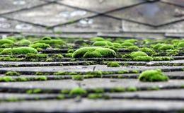 Muschio sul tetto Fotografia Stock