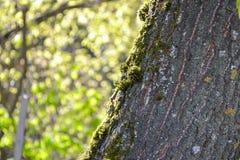 Muschio sul tronco di un albero Immagine Stock