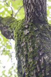 Muschio sull'albero Immagini Stock Libere da Diritti