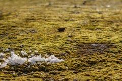 Muschio sull'asfalto Lichene sulla terra Muschio per fondo Fotografia Stock Libera da Diritti