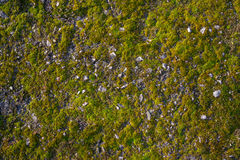 Muschio sull'asfalto Lichene sulla terra Muschio per fondo Fotografia Stock