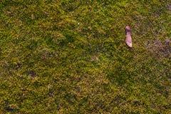 Muschio sull'asfalto Lichene sulla terra Muschio per fondo Fotografie Stock Libere da Diritti
