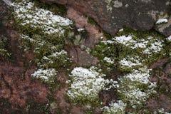 Muschio sulla copertura della roccia da neve Fotografia Stock Libera da Diritti