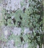 muschio sulla corteccia dell'albero Immagini Stock Libere da Diritti