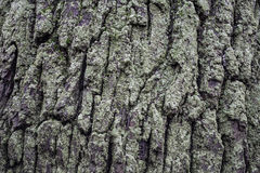 Muschio sulla corteccia della quercia Sfondo naturale Fotografia Stock Libera da Diritti