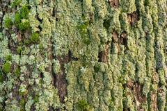 Muschio sulla corteccia di albero Fotografie Stock